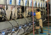 Farmer milking cows
