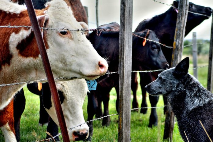 cattle and a dog