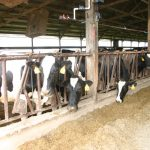 Dairy feed vitamin supplements