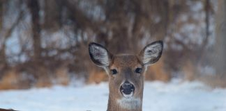 deer during winter