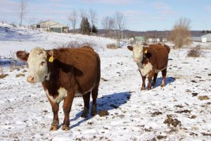 J&L cattle herefords