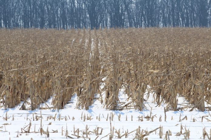Standing corn in snow