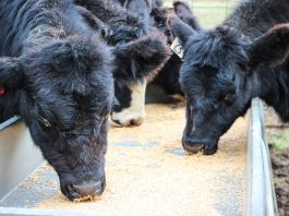Beef cattle eating