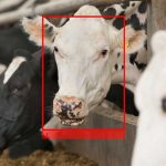 facial recognition in dairy herd