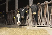 dairy cows in freestall barn