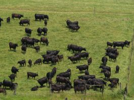 Angus beef cattle grazing