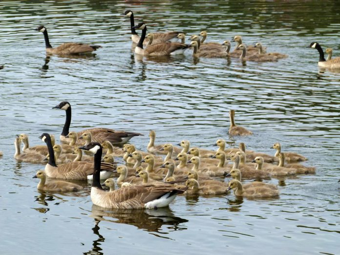 Orders canadian geese online dating