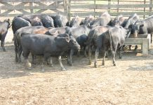 beef cattle feedlot