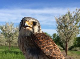 kestrel in orchard