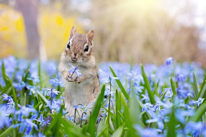chipmunk with purple flowers