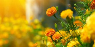 Marigolds: One of the edible flowers.
