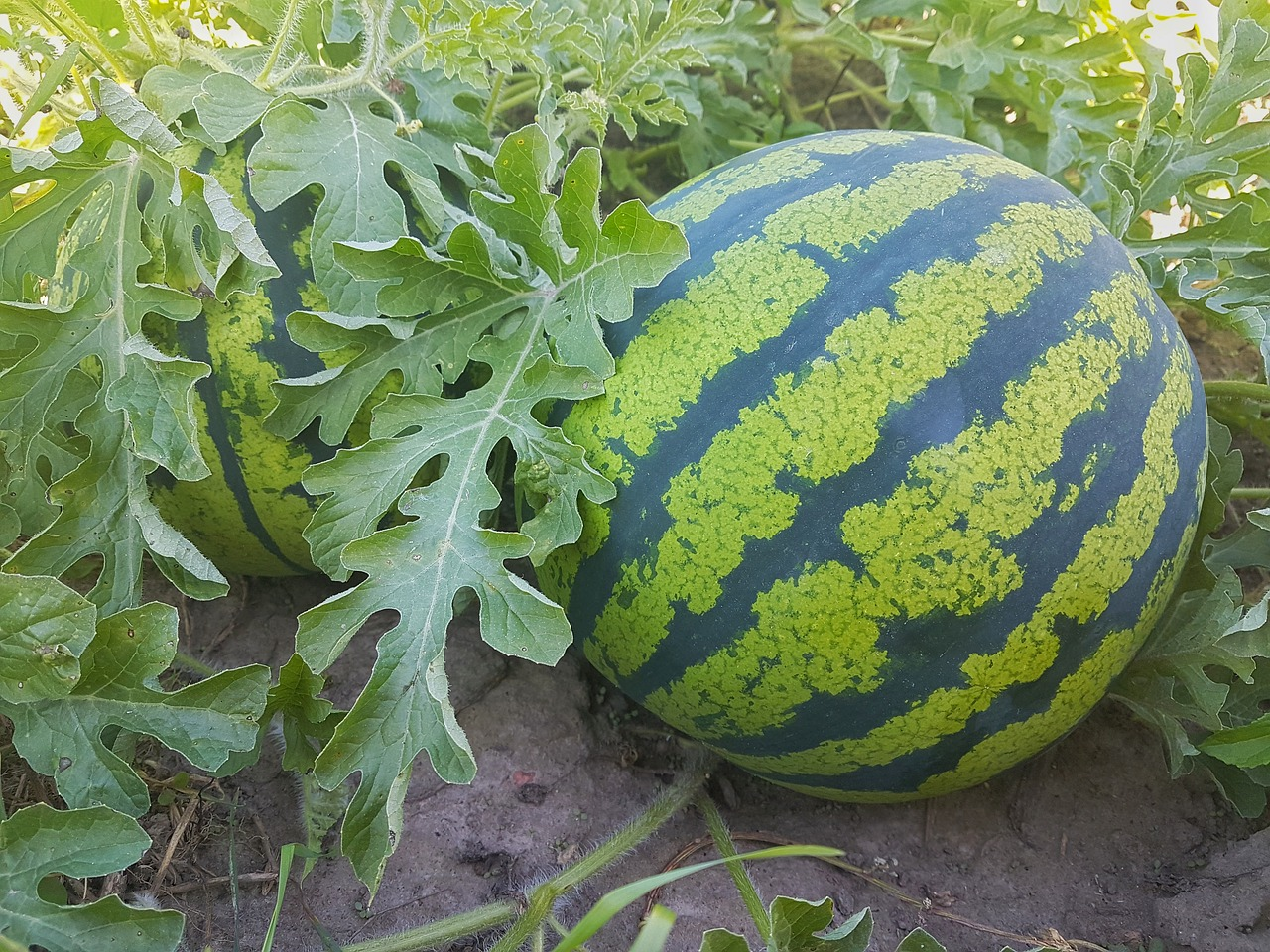 How To Grow Watermelons In Northern Climates Farm And Dairy