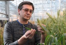 CRISPR-CAS wheat
