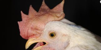 Virulent Newcastle Disease chicken