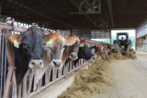 Feeding dairy cattle
