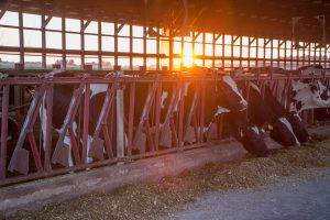Sunset in barn