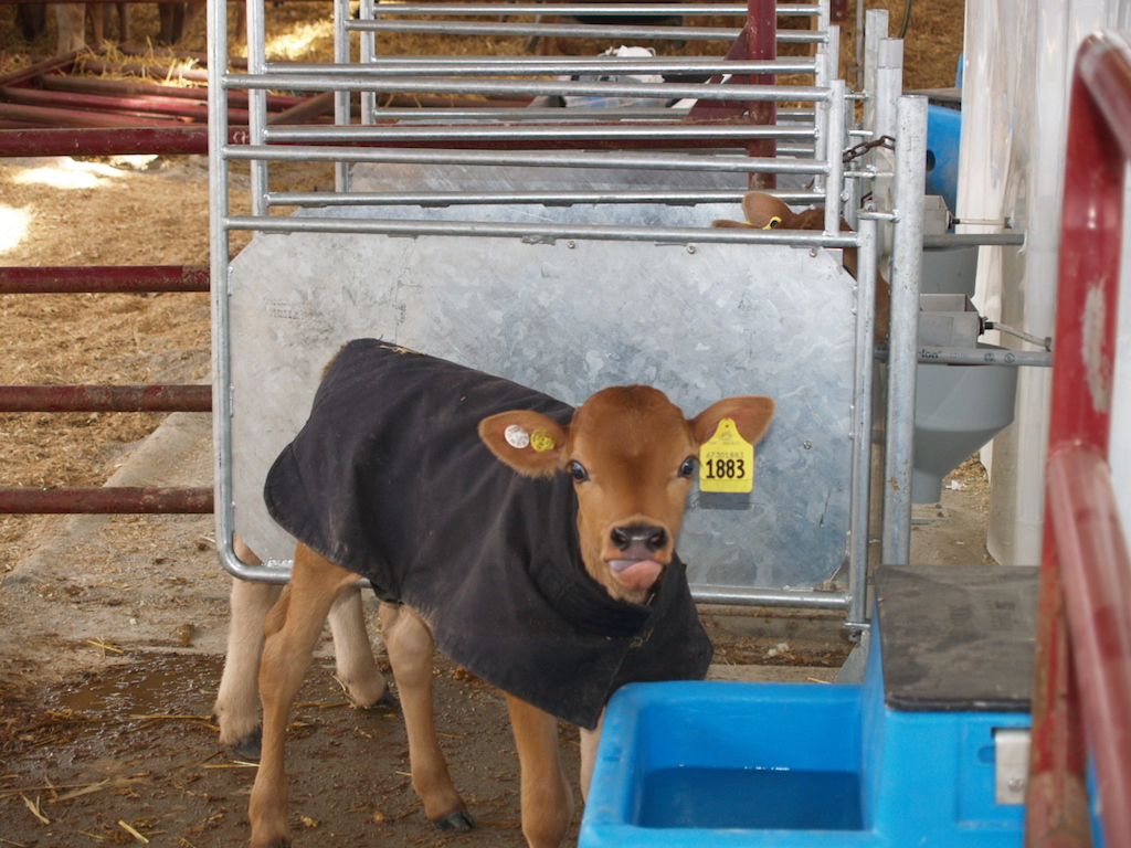 Comparing costs of raising replacement heifers - Farm and Dairy
