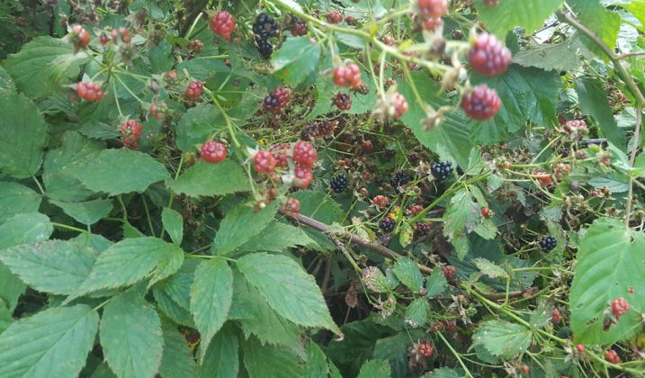 Blackberries and black dewberries