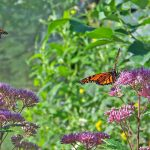 monarch butterflies feeding on milkweed