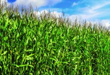 corn-field-blue-sky