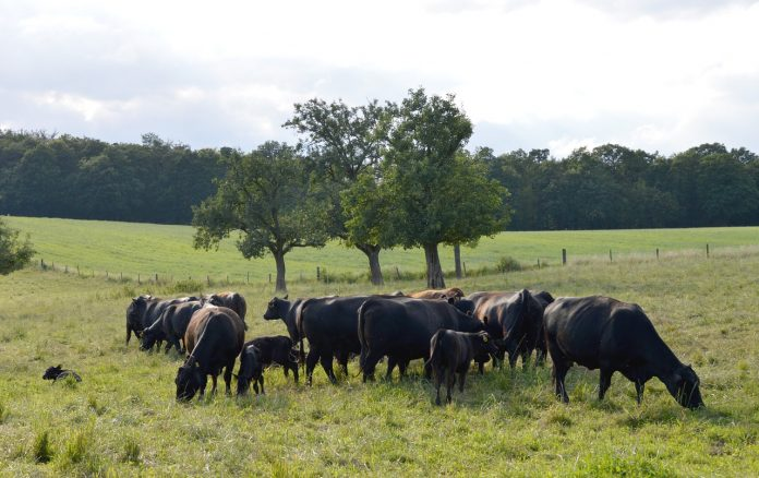 angus beef cattle