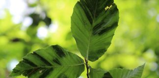 beech leaf disease