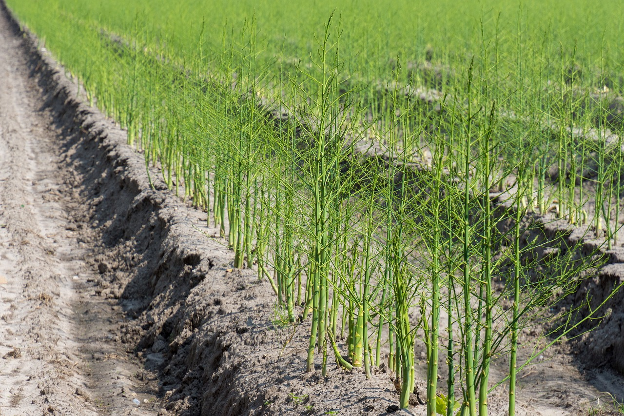 Beetles may ruin asparagus patch - Farm and Dairy Planting Asparagus In The Fall