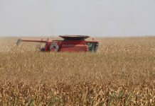 combine in corn field