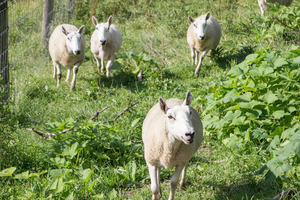 Weisend sheep flock