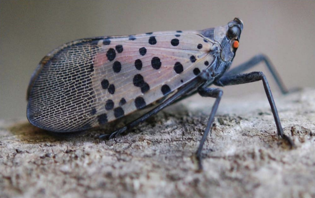 How to identify and destroy spotted lanternfly egg masses - Farm and