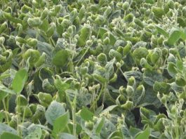 soybeans showing dicamba damage