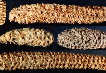 oldest corn virus discovery