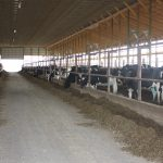 Freestall dairy barn