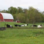 cows on pasture , dairy, farm bill,