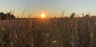 soybeans, grain market,sunset