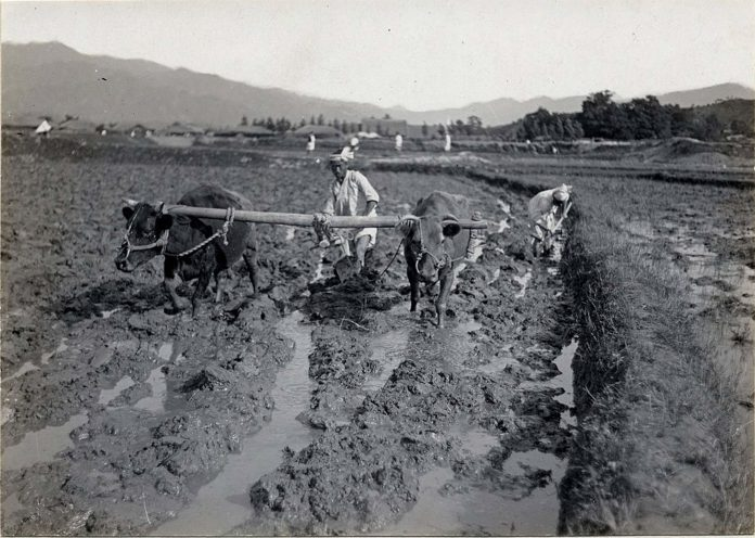 cattle pulling plow