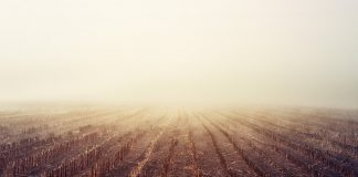foggy corn field