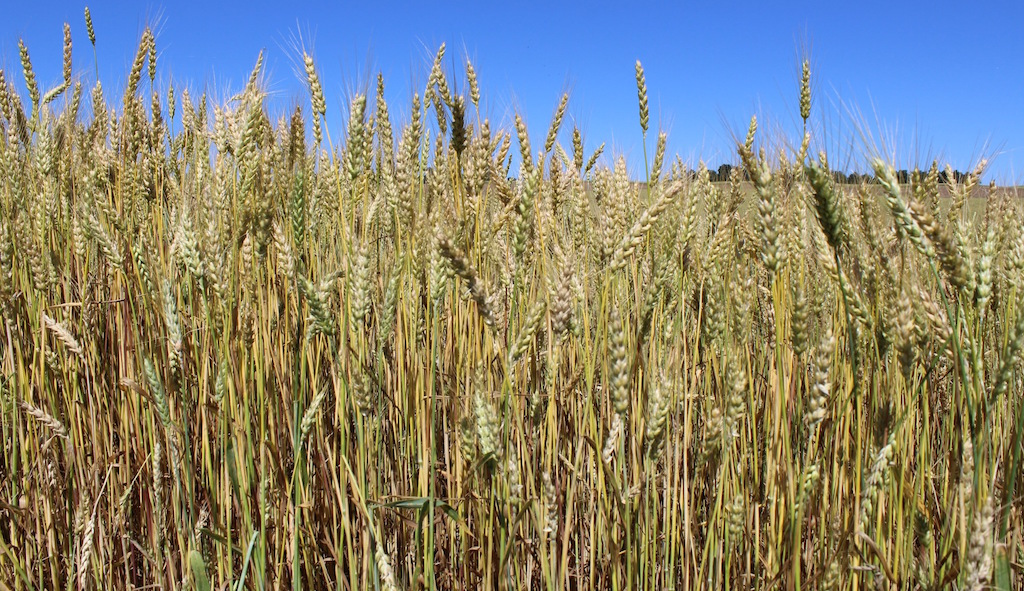 Genetically modified wheat found in Washington - Farm and Dairy