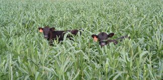 USDA RMA cover crops haying grazing