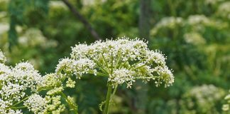 poison hemlock flower