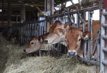 jersey dairy cows eating