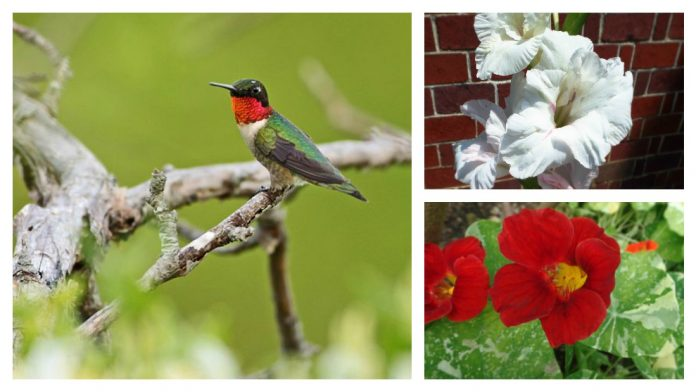 ruby-throated hummingbird and flowers