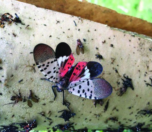 adult spotted lanternfly with wings open
