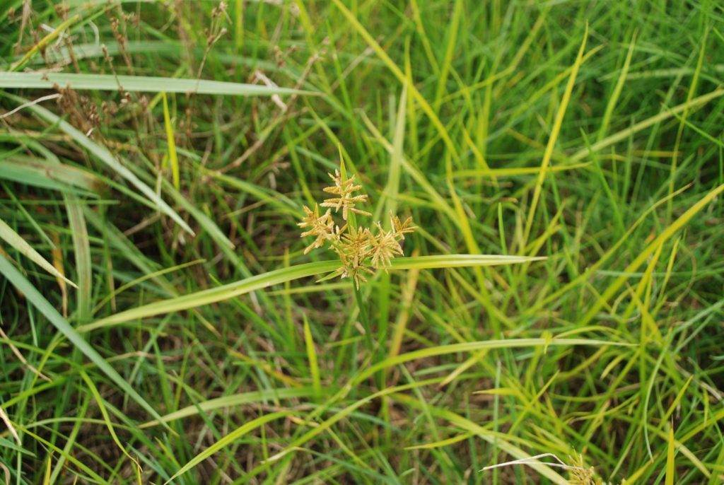 Controlling Yellow Nutsedge A Wet Weather Nuisance Farm