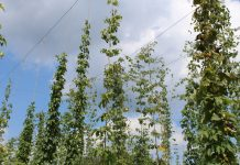 hops on trellis