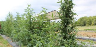 hemp growing at ag progress days.
