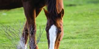 closeup of horse grazing