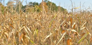 a dry cornfield in Columbiana County, Ohio.