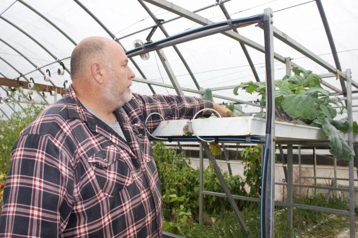 David Clough looks at a plant he grew hydroponically in his greenhouse.