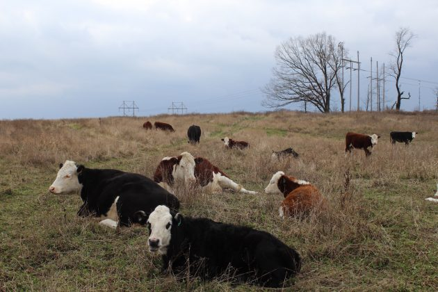 beef cows on a hilltop